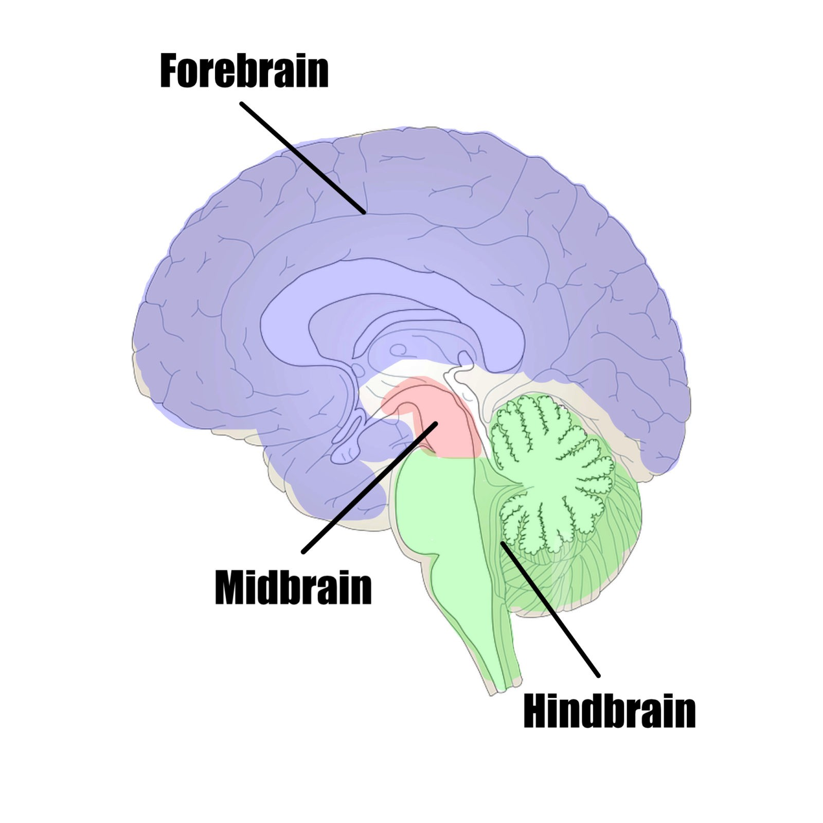 Brain Brain the mass of nerve tissue in the anterior end of an organism The brain integrates sensory information and directs motor responses in higher vertebrates